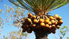 a fruiting cycad (cycas armstrongii) in litchfield national park