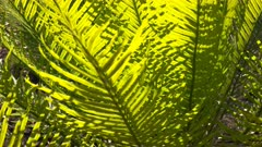 a close up of a the foliage of a cycad (cycas armstrongii) in litchfield national park