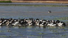 a large flock of pelicans feed at bird billabong in mary river national park near kakadu