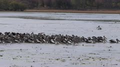 wide view of a large flock of pelicans feed at bird billabong in mary river national park near kakadu