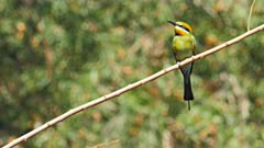 rainbow bee-eater on a branch at a billabong near darwin