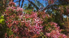 the pretty pink flowers on a turkey bush (Calytrix exstipulata) growing near kakadu national park