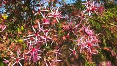 a close up of the pretty pink flowers on a turkey bush (Calytrix exstipulata) growing near kakadu national park