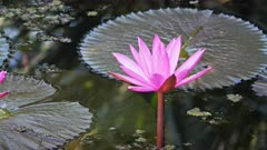 a close up of the pretty pink flowers of a water lily growing in a northern territory billabong