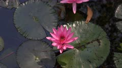 high angle view of a pink water lily flower growing in a northern territory billabong