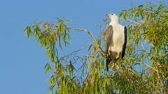 a white bellied sea eagle perched in a tree at a billabong near kakadu