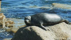 close up of a harbor seal in monterey, california
