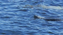 close up of a harbor seal swimming in monterey bay, california