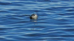 close up of a harbor seal surfacing for a breath in monterey bay, california