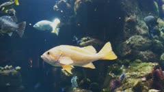 close up of a canary rockfish in a large public aquarium