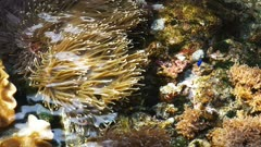 high view looking from above the water suface at coral colonies, anemones and clown fish