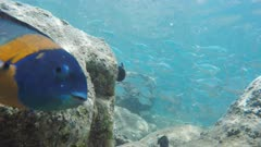 close up of a saddle wrasse and a school of silver fish at honolua bay, maui