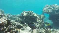 a variety of colourful reef fish such as goldring surgeonfish and raccoon butterflyfish at honolua bay on the hawaiian island of maui