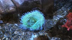 close up view of a giant green anemone in a tide pool