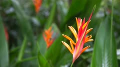close up of a heliconia psittacorum tropical flower on maui's famous road to hana