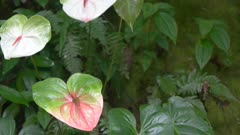 close up panning shot of three pink anthurium tropical flowers on maui