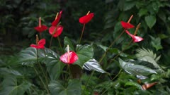 clump of red anthurium flowers growing in a garden on maui's road to hana