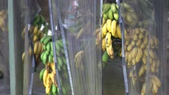bunches of bananas ripen at a roadside stand on maui's road to hana