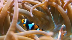 extreme close up of a percula clown fish nestled among the tentacles of its host anemone