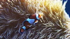 a clown fish swims among the tentacles of its host anemone