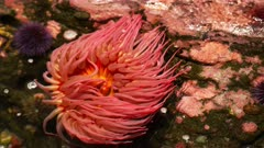 close up of a large red fish eating anemone in a tide pool