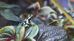 a green and black poison dart frog turns and hops on a green leaf
