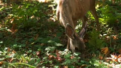 a doe and fawn feed among redwood trees at muir woods national monument