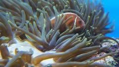 pink clownfish swim among the tentacles of an anemone