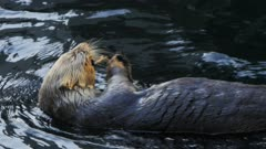 close up of a sea otter eating fresh mussels
