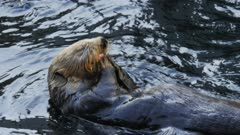 close up of a southern sea otter eating