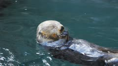 close up of the face of a feeding sea otter