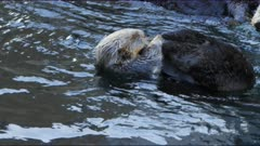 close up of  two southern sea otters preening