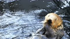 close up of a sea otter having a meal