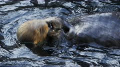 close up of a sea otter having a meal of mussels