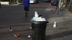 a pacific gull scavenges french fries from a garbage bin at venice beach, california
