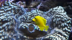a yellow tang fish swims among above a large tridacna clam