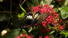 close up of a great yellow mormon butterfly feeding