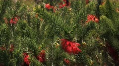close up of a western australian silky-leaved blood flower (Calothamnus sanguineus) with its bright red flowers