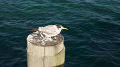 a crested tern rests on top of a pylon at west australia's busselton jetty