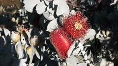 close up of two blossoms on a eucalyptus macrocarpa, a mallee eucalyptus that is native to the south-west of western australia and noted for its large, spectacular flowers
