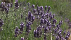 close up of honey bees collecting pollen from lavender flowers at a garden in oatlands, tasmania