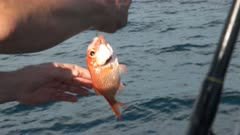 a fisherman takes hold of a nannygai he caught on a fishing charter off the australian east coast