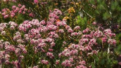panning shot of a western australian wildflower bush with its bright pink flowers