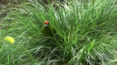 a new zealand red crowned parakeet foraging in long grass