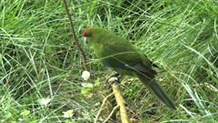 close up of a new zealand red crowned parakeet on a branch