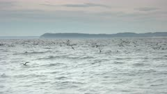 a flock of shearwater birds, most likely short tailed shearwater, feed on bait fish forced to the surface by bonito