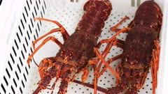 a tasmanian crayfisherman unloads a catch of southern rock lobster into a white crate