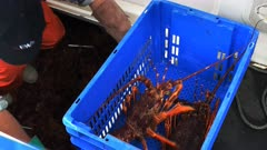 close up of a fisherman unloading a catch of southern rock lobster at st helens on tasmania's east coast