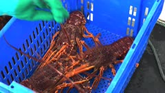 a fishermen fills a crate with live southern rock lobster at st helens on tasmania's east coast
