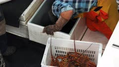 fishermen unload a catch of southern rock lobster at st helens on tasmania's east coast